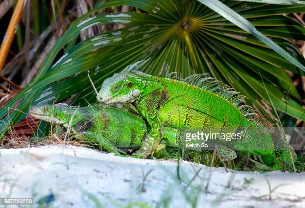 the call of nature - green iguana ストックフォトと画像