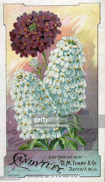 The Calvert Litho Company includes candytuft flowers in its series of seed trade cards issued for the D M Ferry company and printed circa 1880 in...