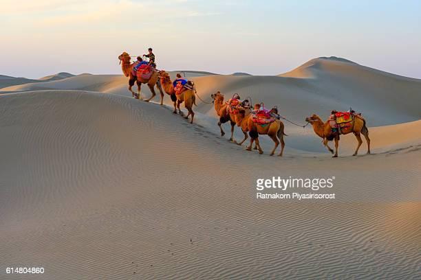 The camel walk in Desert