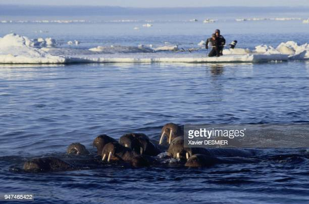 The cameraman David Reichert and his assistant Patrick Pain filming walrus south of Igloolik island and north of Foxe area Nunavut territory Canada...