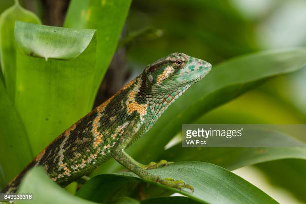 The Canopy Lizard or Berthold's Bush Anole Polychrus gutturosus is an arboreal lizard found throughout Central America from Honduras down to Ecuador...