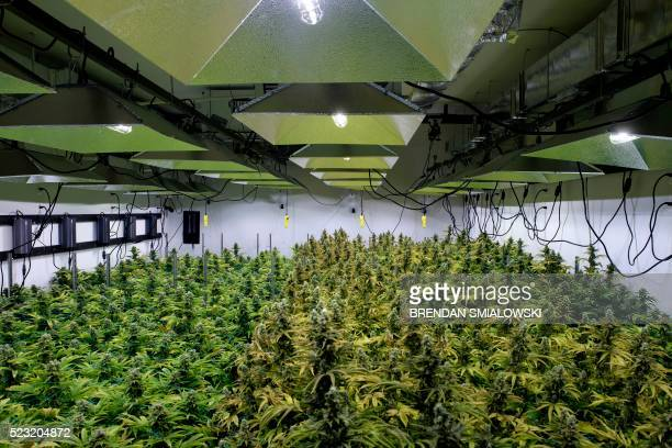 The canopy of a marijuana crop is seen at Alternative Solutions a DC area medical marijuana producer April 20 2016 in Washington DC Security cameras...