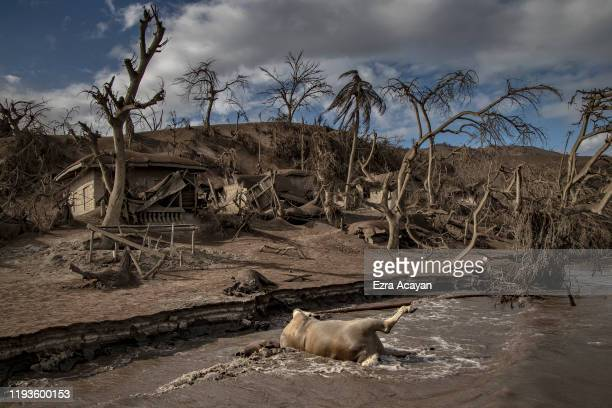 The carcass of a cow floats in the shore as carcasses of horses dead trees and houses near Taal Volcano's crater is seen buried in volcanic ash from...