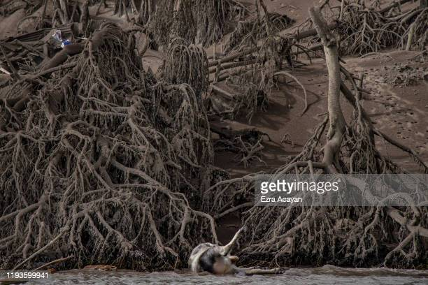 The carcass of a cow floats in the shore as dead trees near Taal Volcano's crater are seen covered in volcanic ash from the volcano's eruption on...