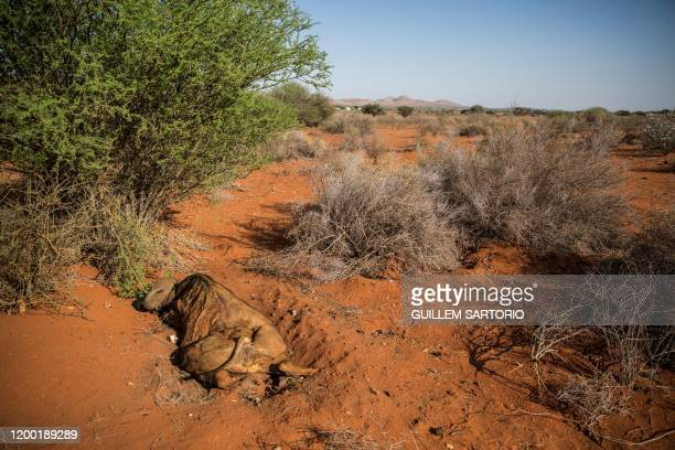 The carcass of a dead buffalo lies on the ground of the Thuru Lodge game farm near Groblershoop on January 15 2020 In the Northern Cape Province of...