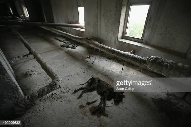 The carcass of a dog lies in a facilities room of an abandoned 16storey aparment building on September 29 2015 in Pripyat Ukraine Pripyat lies only a...