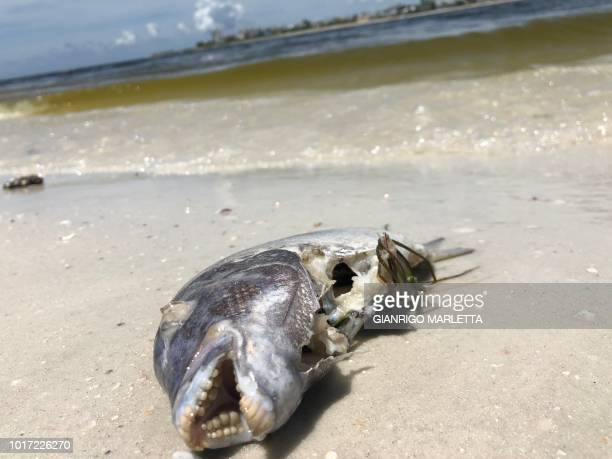The carcass of a fish that was killed by red tide lays on a beach on August 14 in Bonita Springs Florida an area where large numbers of marine life...