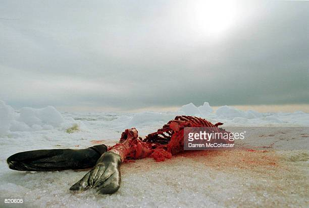 The carcass of a harp seal roughly twenty days old lies on an ice floe March 30 2001 in the Gulf of St Lawrence in Canada Canada's seal hunt the...