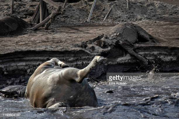 The carcass of a horse is seen buried in volcanic ash from Taal Volcano's eruption next to the carcass of a cow floating on the shore on January 14...