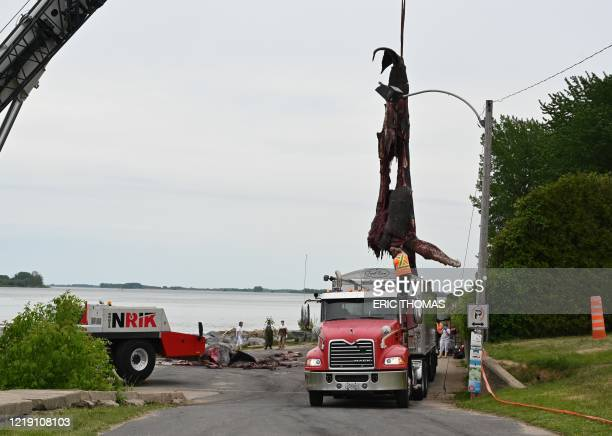 The carcass of a humpback whale is lifted onto the back of a truck after marine biologists performed a necropsy on the whale that swam 400 kilometers...