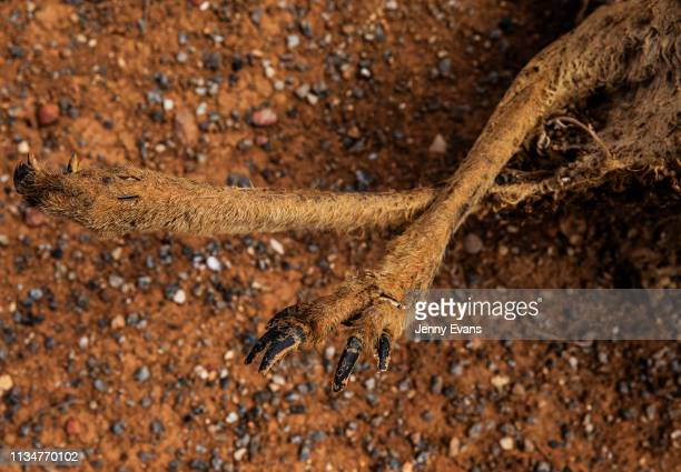 The carcass of a kangaroo is seen by the side of the road on March 06 2019 in Wilcannia Australia The Barkandji people meaning the river people live...