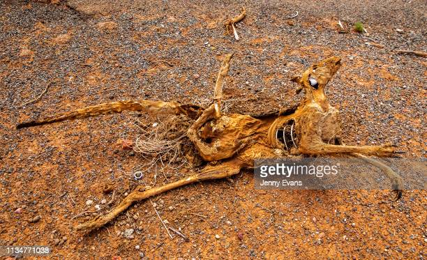The carcass of a kangaroo is seen by the side of the road on March 06, 2019 in Wilcannia, Australia. The Barkandji people - meaning the river people...