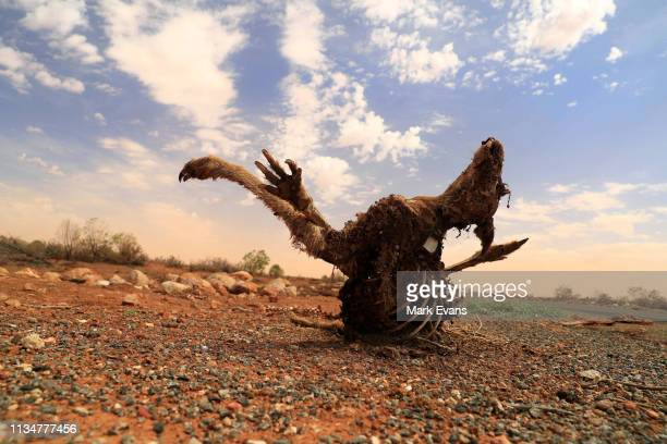 The carcass of a kangaroo is seen by the side of the roadon March 06 2019 in Wilcannia Australia The Barkandji people meaning the river people live...