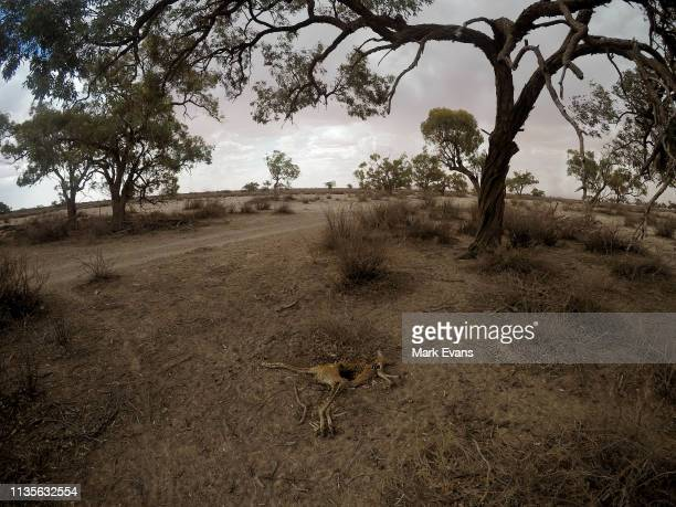 The carcass of a kangaroo on March 06, 2019 in Wilcannia, Australia. The Barkandji people - meaning the river people - live in Wilcannia, a small...