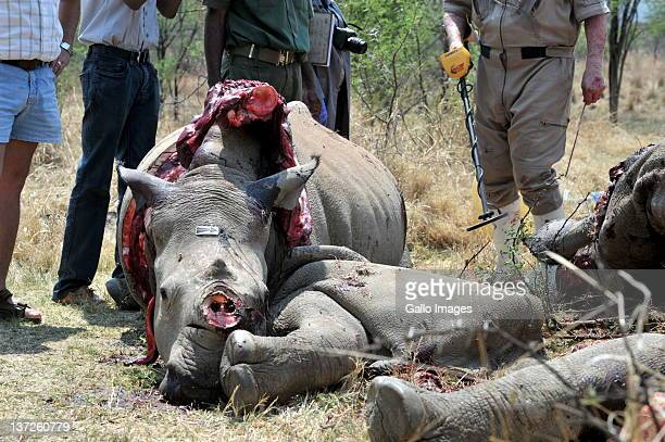 OUT The carcass of a White Rhino calf at a farm on September 29 2011 in North West South Africa Five rhinos have now been poached at Neels van...