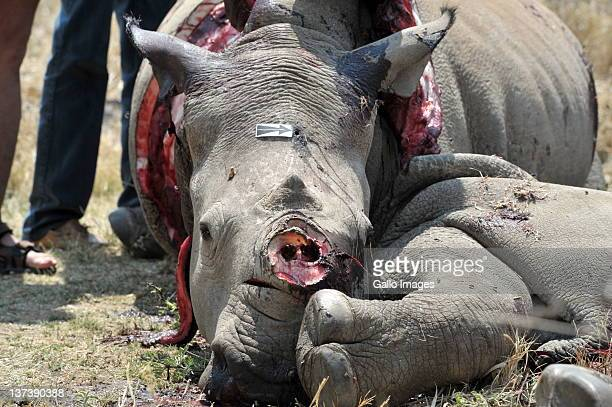 The carcass of a white rhino is seen on a farm on September 29 2011 in North West South Africa This brings the total number of rhino's poached at...