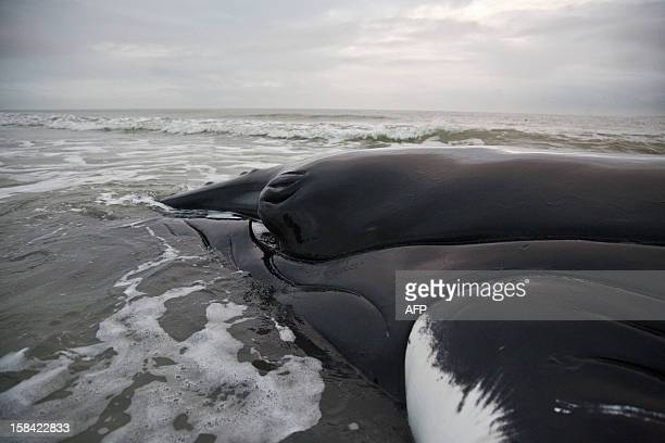 The carcass of the humpback whale Johannes which was stranded on a sandbank since December 12 near the Wadden Sea island of Texel remains on the...