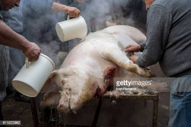 The carcass of the pig is bathed in boiling water to facilitate the removal of the bristles the hairs of the animal on January 13 2018 in Salerno...