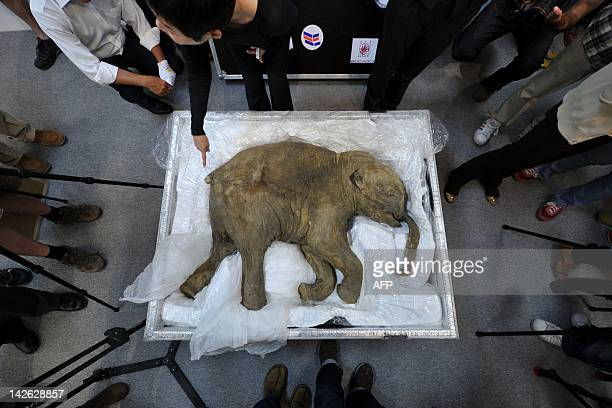 The carcass of the world's most well-preserved baby mammoth, named Lyuba, is displayed in Hong Kong on April 10, 2012. Lyuba, whose carcass is 42...