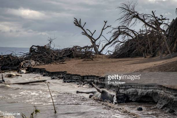 The carcasses of a cow a horse and a pig float in the shore as dead trees near Taal Volcano's crater is seen buried in volcanic ash from the...