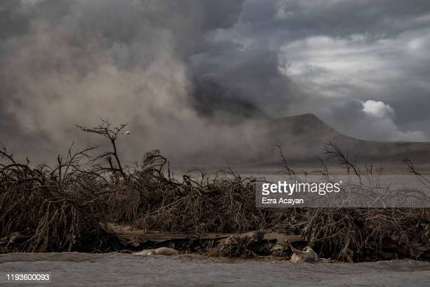 The carcasses of cows float in the shore as dead trees near Taal Volcano's crater are seen buried in volcanic ash from the volcano's eruption on...