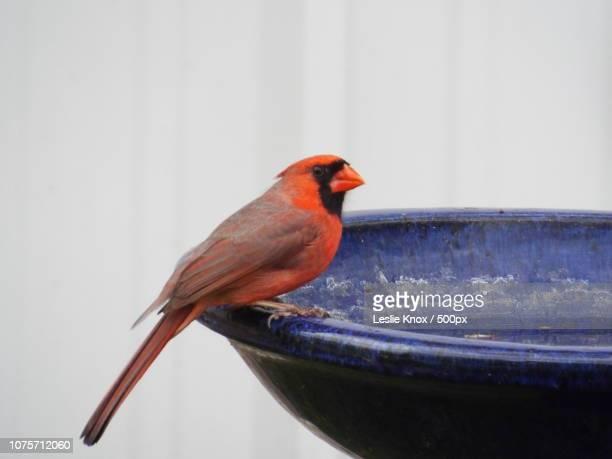 the cardinal in the blue bird bath - blue cardinal bird stock photos and pictures