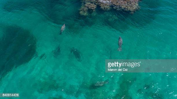 the caribbean manatee - antilles stock pictures, royalty-free photos & images