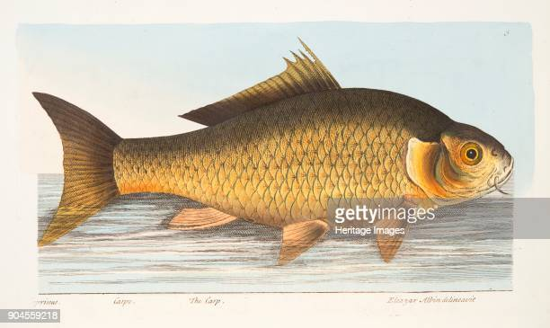 The Carp from A Treatise on Fish and Fishponds pub 1832