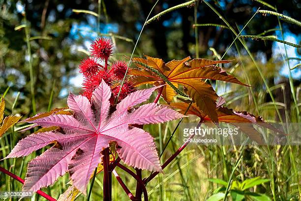 the castor oil plant - crmacedonio stock-fotos und bilder