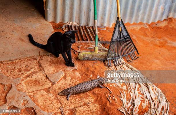 The cat of Barkandji elder Waddy Harris plays with a shingleback lizard on March 05, 2019 in Wilcannia, Australia. The Barkandji people - meaning the...