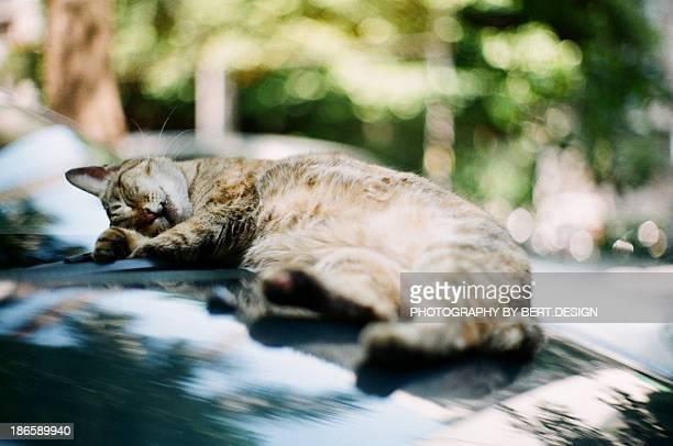 The cat sleeping on car hood