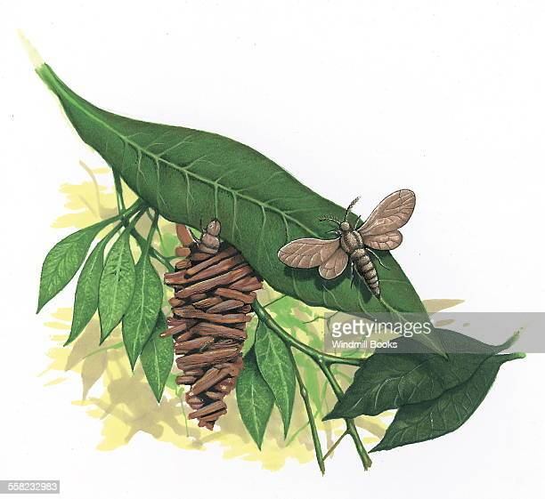 The caterpillar larvae of the Bagworm moth in a case of plant materials attached to a leaf A Bagworm moth sitting on a leaf
