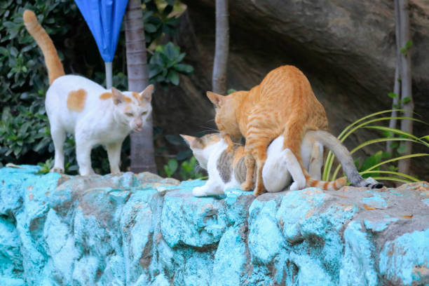 The Cats Are Breeding, Outdoors, And There Is Another Male With A White Cat Waiting.