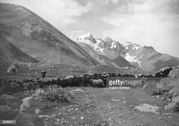 The Caucasus mountains a goatherd with a flock of sheep and goats