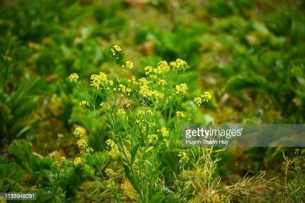 the cauliflower - crucíferas - fotografias e filmes do acervo