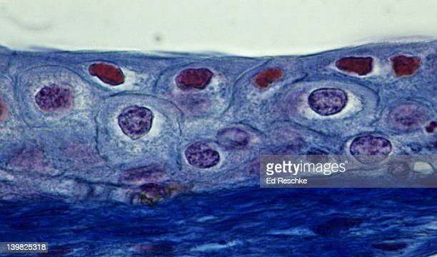 transitional epithelium, bladder, stretched, 250x the cells near the surface are flatter than the underlying cells because the bladder is stretched. underlying connective tissue is dark blue. mallory stain. - transitional epithelium stock pictures, royalty-free photos & images