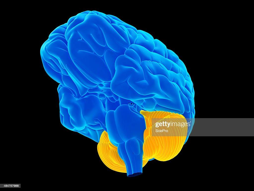 The cerebellum : Stock Photo
