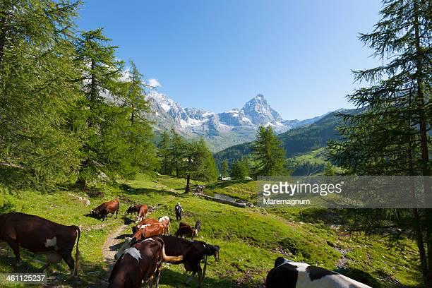 the cervino (matterhorn), landscape - pascolo foto e immagini stock