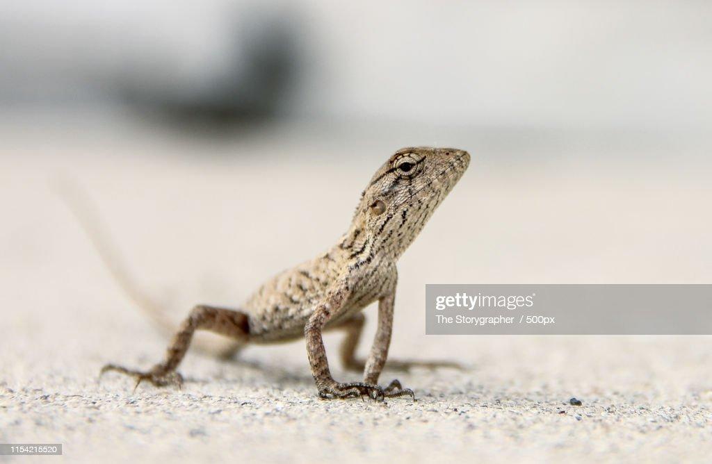 The Chameleon : Stock Photo