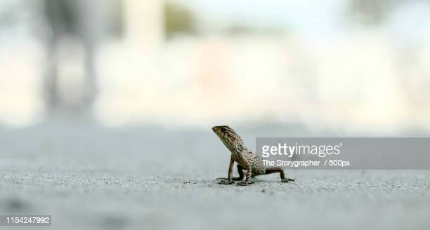 the chameleon - the storygrapher stockfoto's en -beelden