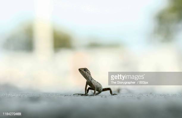the chameleon - the storygrapher - fotografias e filmes do acervo