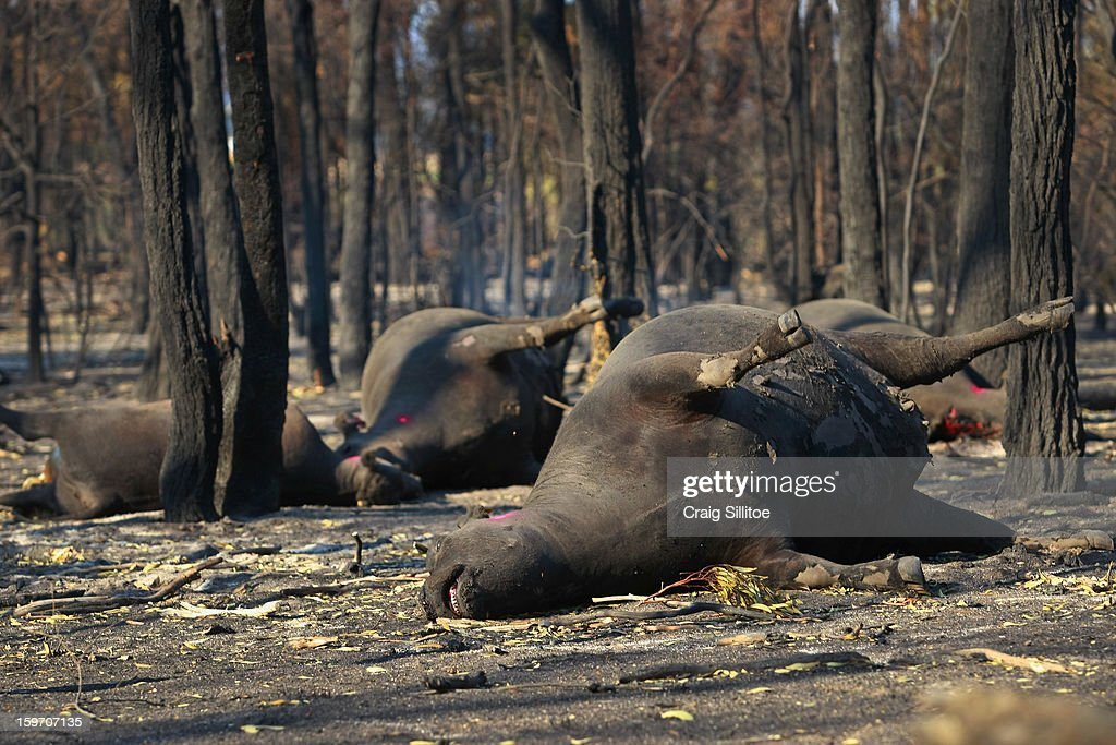 The charred corpses of pure bred Angus cattle rest between burnt trees at Michael Dennis's Seaton Farm on January 19, 2013 in Melbourne, Australia. Bushfires in Victoria have claimed one life and destroyed several houses as record heat continues to create extreme fire conditions throughout Australia. Mr Dennis, 80, lost at least 68 of his herd.