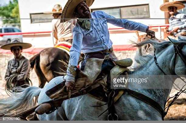 the charro rides alongside the left side of the bull wraps its tail around his right leg and tries to bring the bull down in a roll as he rides past...