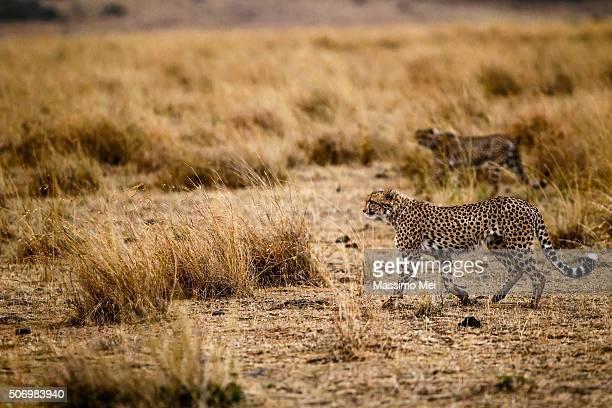 The cheetah hunt