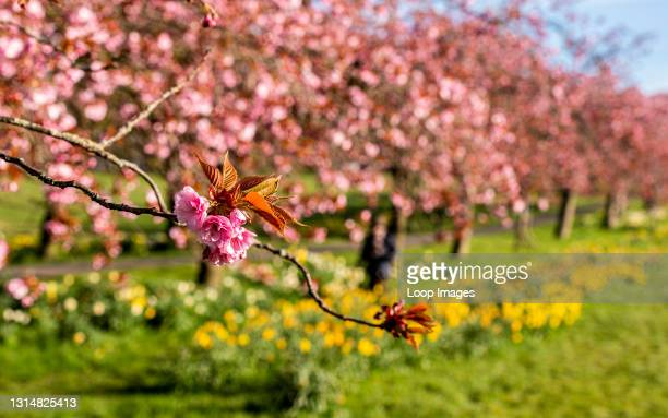 The cherry blossom is in full bloom in the Stray Park in the centre of Harrogate while very few people are seen around due to the lockdown.