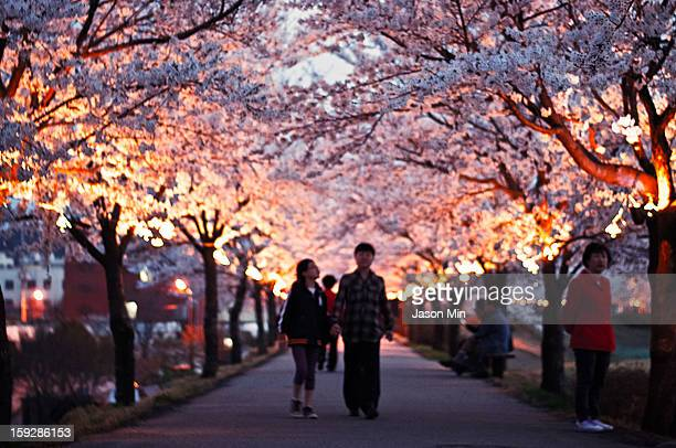 The cherry blossoms along the river side near my apartment; white, ephemeral petals cast in a luminous glow, as if it were a tribute to the last...