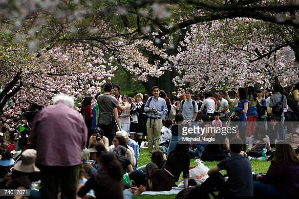 The Cherry Esplanade is filled with people during the Brooklyn Botanic Garden's Cherry Blossom Festival on April 28 2007 in the Brooklyn borough of...