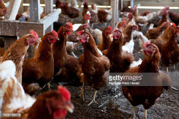 The chickens at Orchard Ridge Farm in Gorham stay out of the sun on Friday July 20 2018 Orchard Ridge Farm has more than 1000 chickens that produce...