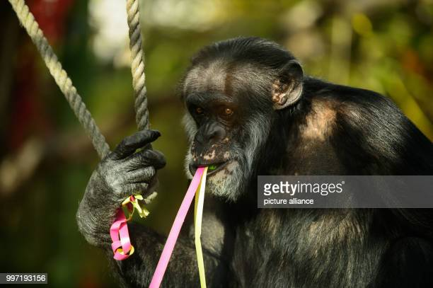 The chimpanzee 'Benny' celebrates his 50th birthday in Karlsruhe Germany 12 October 2017 'Benny' was born in the wilderness and came to the zoo in...