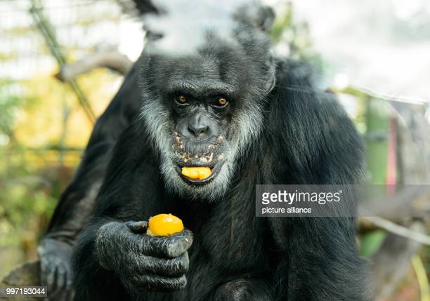 The chimpanzee 'Benny' eats fruit from a cake for his 50th birthday in Karlsruhe Germany 12 October 2017 'Benny' was born in the wilderness and came...